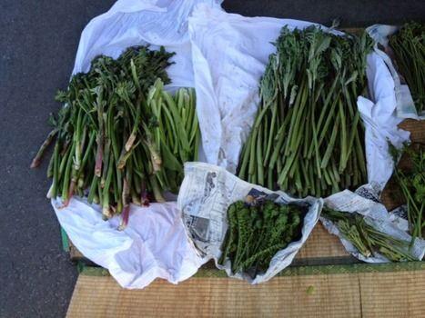 山菜採りに行ったらいっぱい採れた(※画像あり)