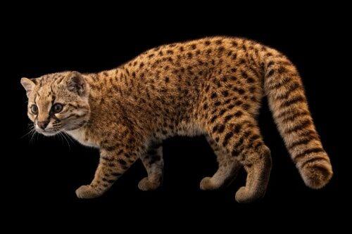 【動物】南米の小さなヤマネコ「コドコド」を知ってますか