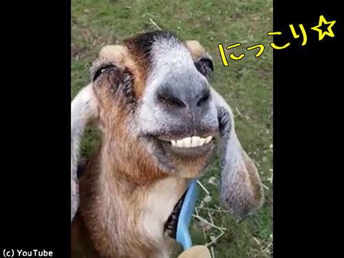 この最高の笑顔ときたら…ブラッシングされて喜ぶヤギ(動画)