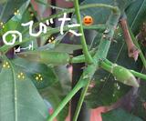 パキラ2008春蕾080525描