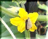 キュウリの花にとまるシジミ蝶