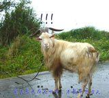 宮古島のヤギ:本島平三さん