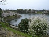 桜満開 011