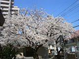 桜満開 013