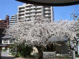 桜満開 012