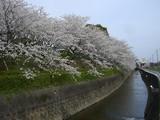桜だより3 005