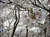 桜満開 022