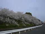 桜満開 018