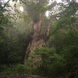※これが縄文杉です