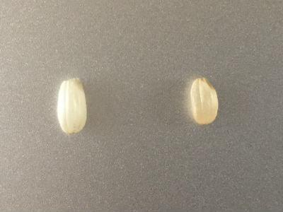 発芽した玄米の比較