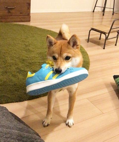 【悲報】ワオのイッヌ、何度言っても玄関から靴を持ってきてしまう・・・
