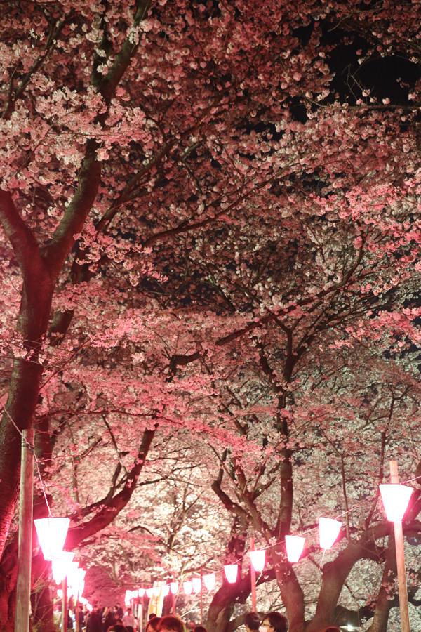 幸手権現堂 夜桜20150331-4