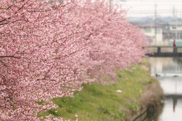 鷲宮の桜20160305-3