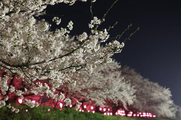 幸手権現堂 夜桜20150331-5
