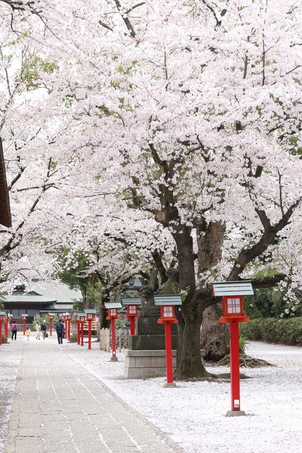 鷲宮神社の桜2015年 18
