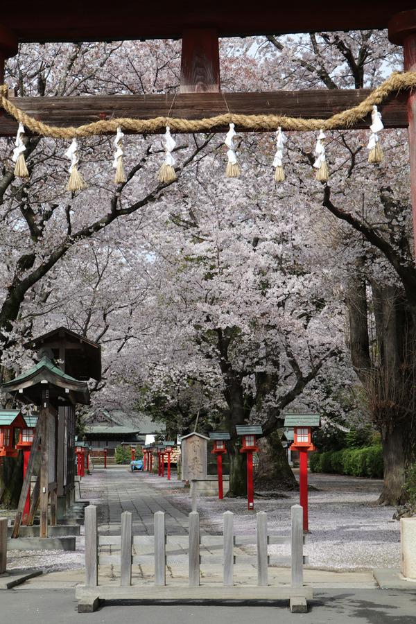 鷲宮の桜20160408-1