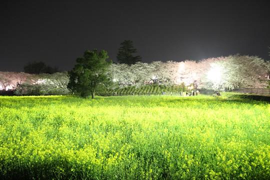 幸手権現堂の夜桜と菜の花 3月28日