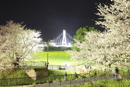 幸手権現堂の夜桜と菜の花と外野橋 3月28日