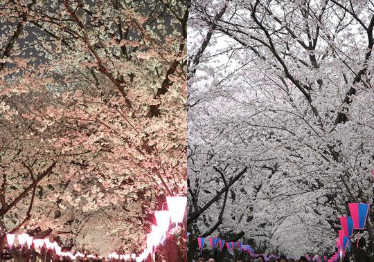 幸手権現堂 夜桜と昼間の桜 3月28日と3月31日