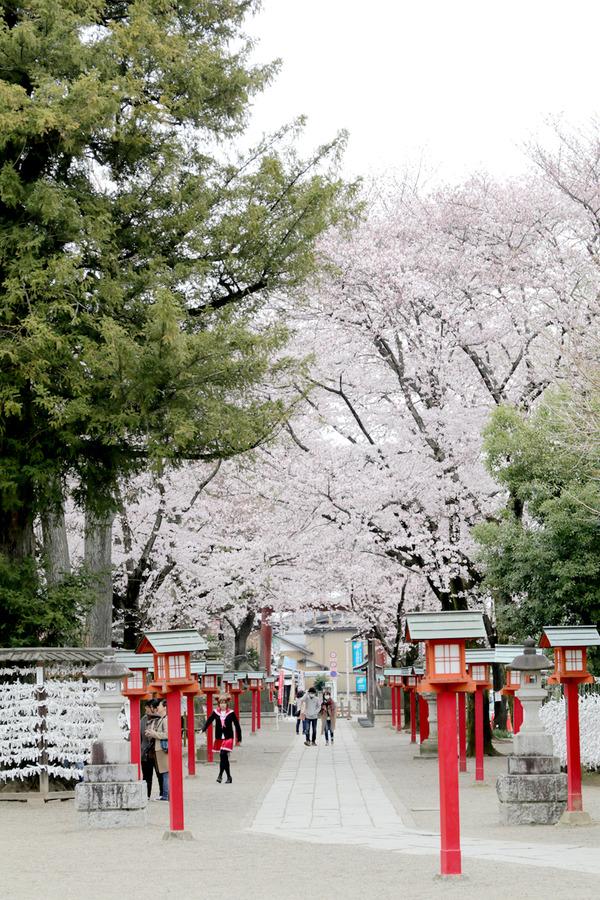 鷲宮の桜20160402-6
