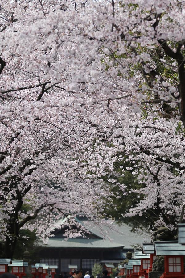 鷲宮の桜20160403-2