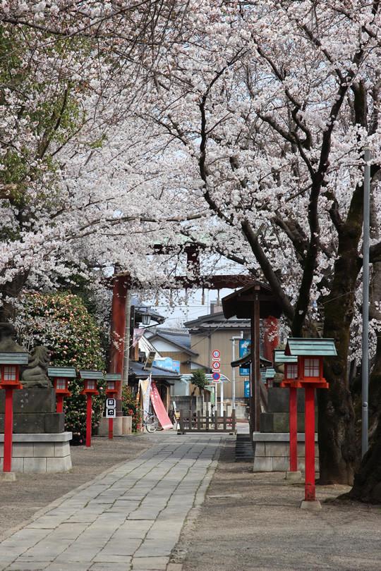 鷲宮神社境内から見た桜 2013年3月28日