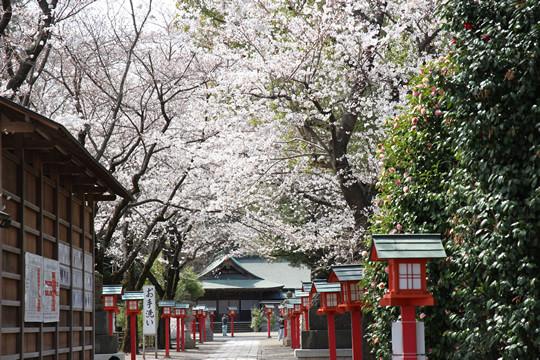 鷲宮神社境内の桜 2013年3月26日