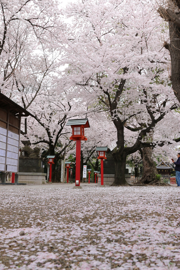 鷲宮神社の桜2015年 13