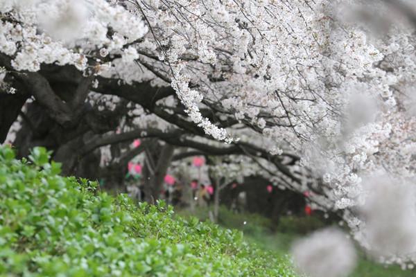 幸手権現堂 桜20150404-6