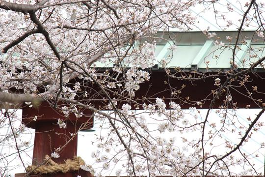 鷲宮神社鳥居近くの桜