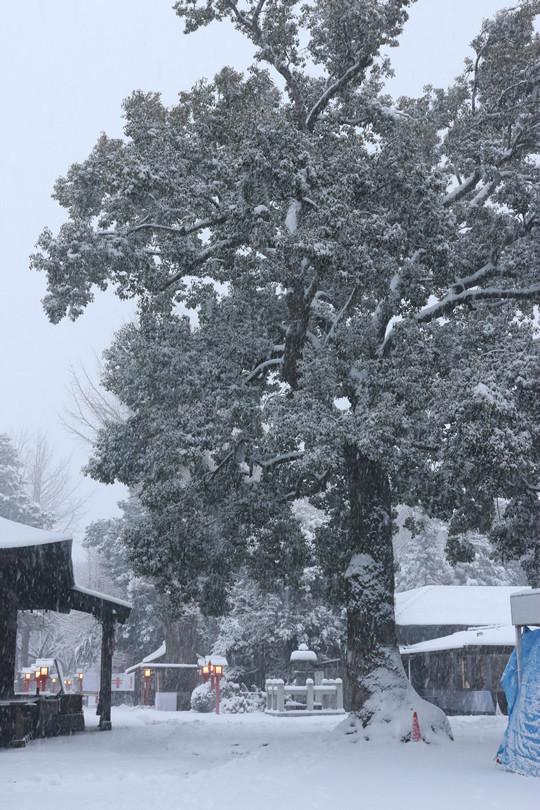 雪の鷲宮神社 拝殿前の巨木