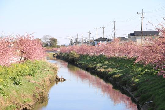 河津桜並木の青毛掘り