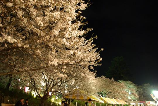 ライトアップされる夜桜