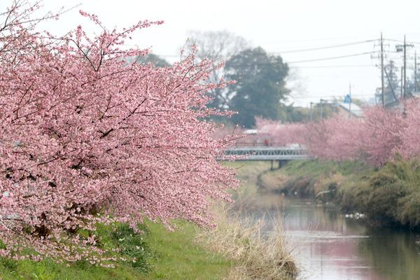 鷲宮の桜20160305-1