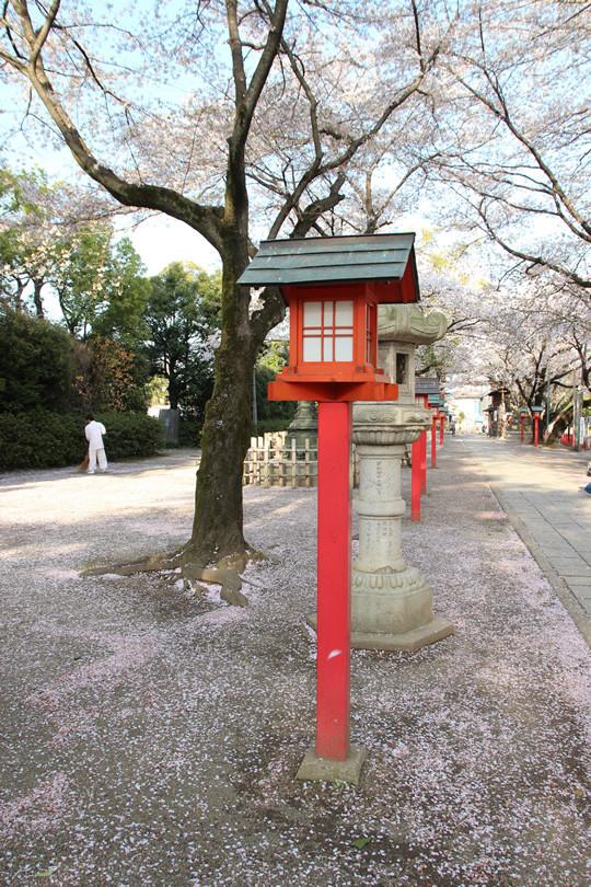 鷲宮神社境内に散る桜の花びら 2013年4月4日