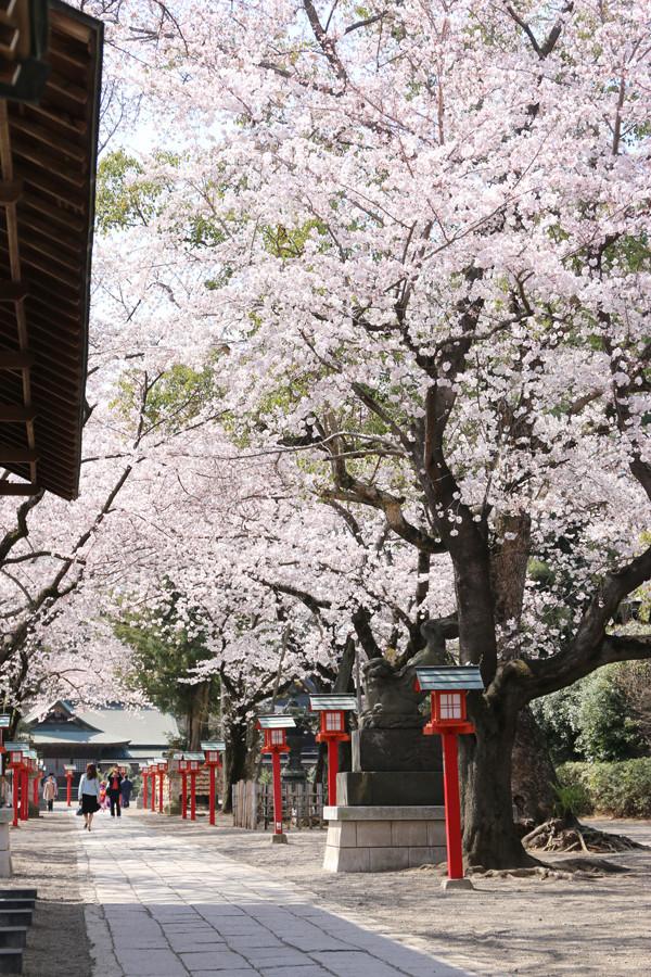 鷲宮神社の桜2015年 02