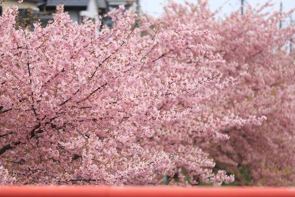 鷲宮の河津桜(久喜市鷲宮青毛堀川)平成31年3月16日-2