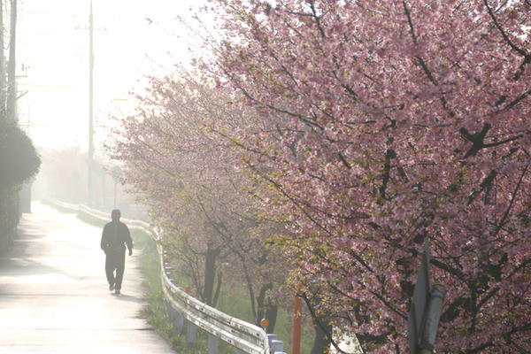 鷲宮の桜20160308-4