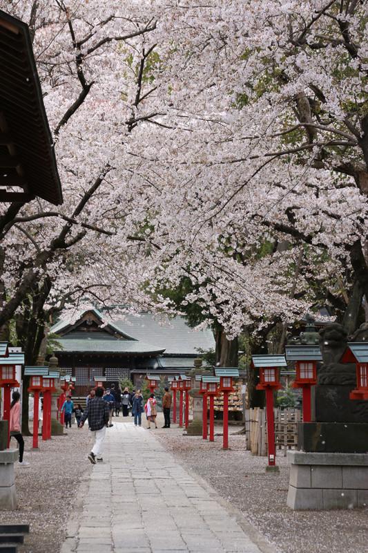 鷲宮神社境内の桜吹雪20140406