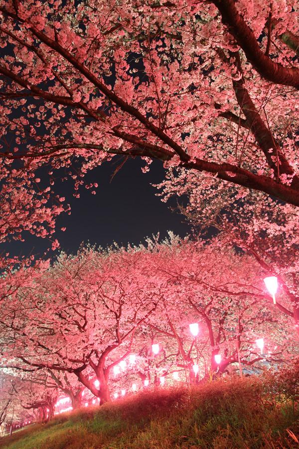 幸手権現堂 夜桜20150331-7