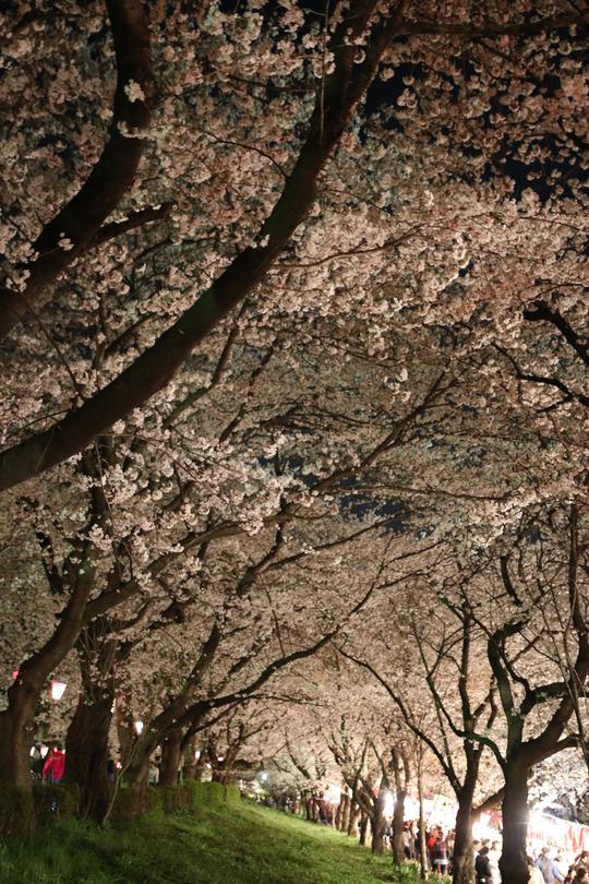 幸手権現堂の夜桜2014-04