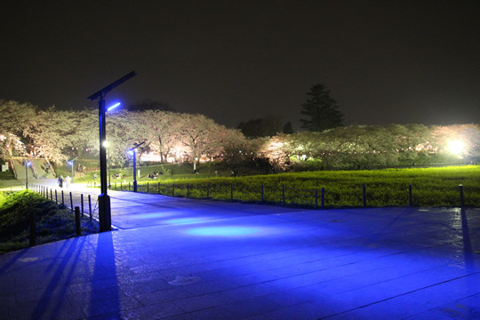 幸手権現堂 ブルーライトと夜桜3月28日