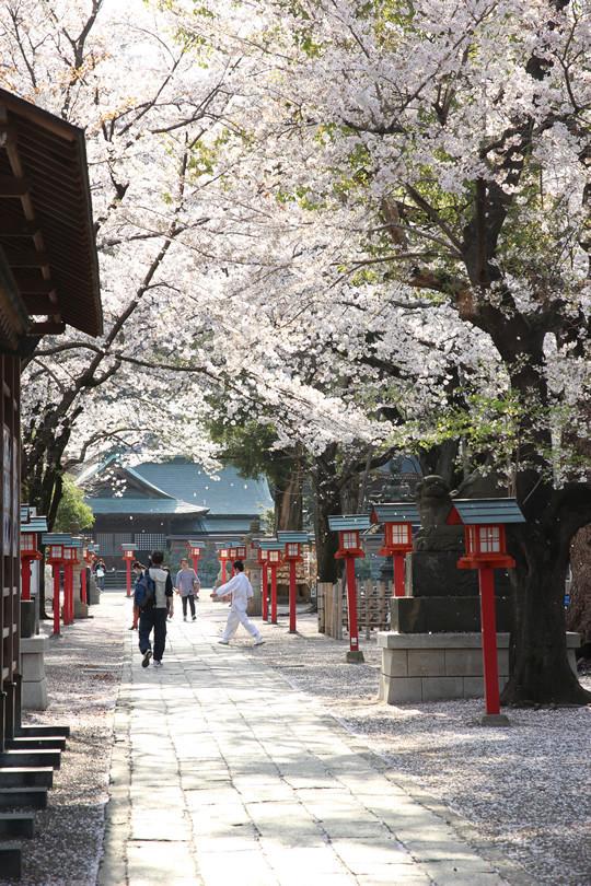 鷲宮神社境内の桜 2013年4月4日