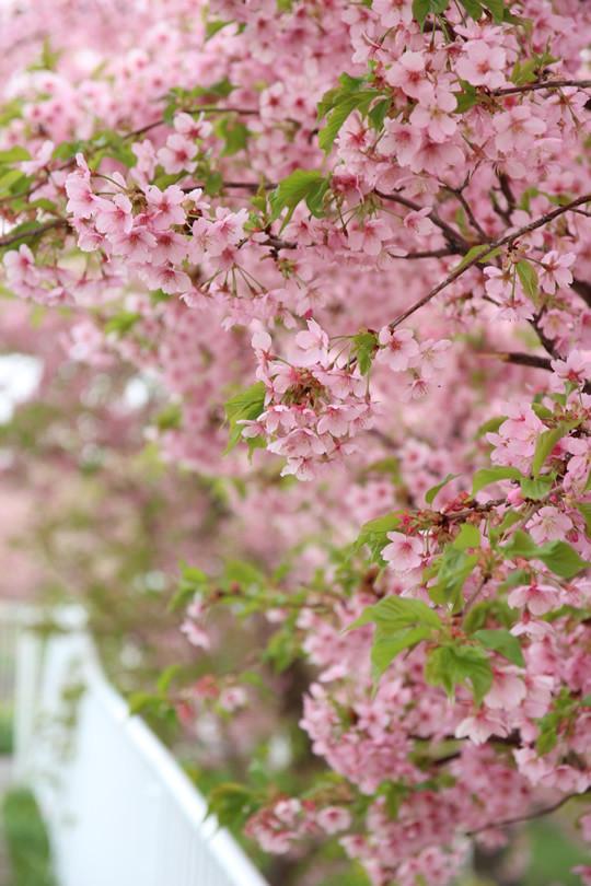 春分の河津桜
