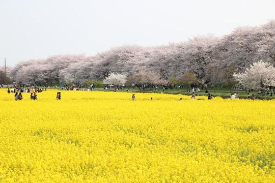 幸手権現堂の桜と菜の花 4月1日