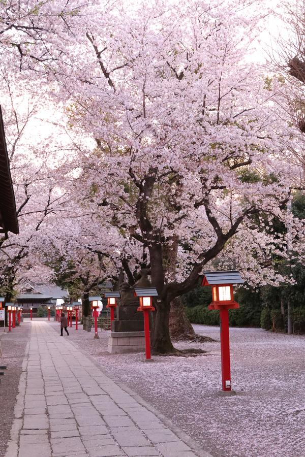 鷲宮の桜20160408-3
