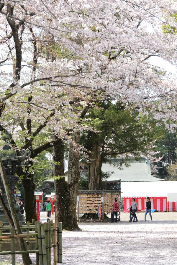 鷲宮の桜20160409-1
