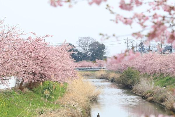 鷲宮 河津桜2017-12
