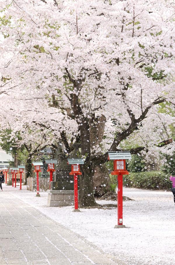 鷲宮神社の桜2015年 19