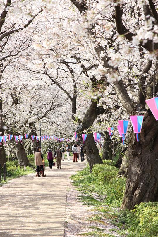 幸手権現堂の桜並木 4月4日